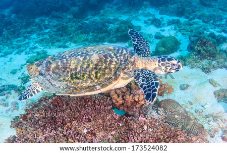 Hawksbill Turtle swimming over a colorful coral reef
