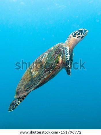hawksbill turtle swimming up - stock photo