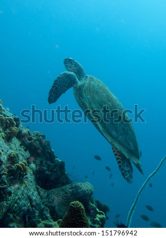 hawksbill turtle swimming up past the rocks
