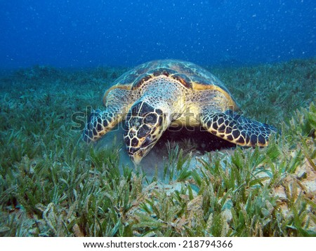 Hawksbill turtle trying to eat something from inside a car tire  - stock photo