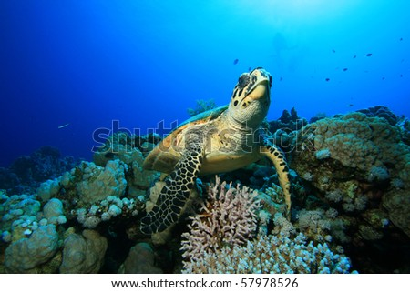 Hawksbill Turtle with distant scuba divers in background - stock photo