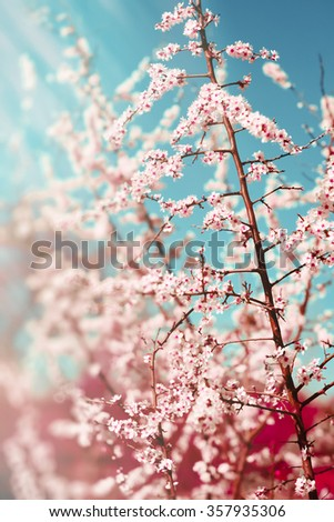 Hawthorn blooms in soft background of flowering branches and sky, early spring white flowers background with bokeh - stock photo