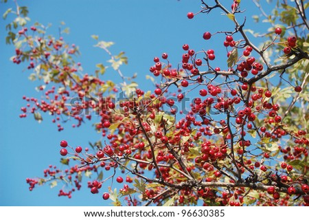 hawthorn or thorn-apple fruits in the forests of the Carpathian mountains. - stock photo