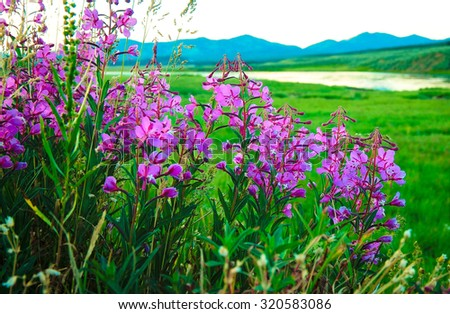 Hayden Valley flowers close up. Yellowstone National Park. Wyoming, USA - stock photo
