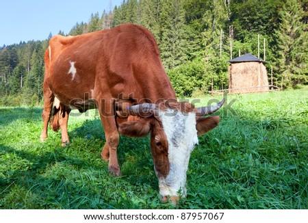 Haystack and cow on misty morning mountainside (Carpathian, Ukraine) - stock photo