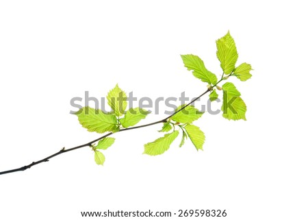 Hazel twig with translucent young leaves isolated on white