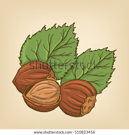 Hazelnuts with leaves. illustration. Hand drawn illustration.