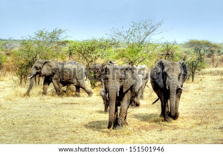 hdr image of a big group of elephants on the move in Africa - stock photo