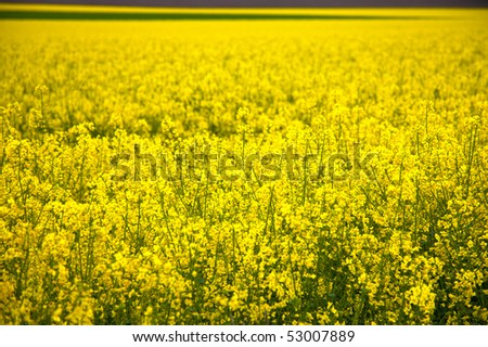 HDR Image of a rapeseed field. Image taken with a wide-angle lens - stock photo