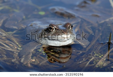 he common frog (Rana temporaria) mating, also known as the European common frog, European common brown frog, or European grass frog, is a semi-aquatic amphibian  - stock photo