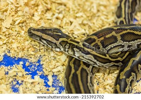 Head and eye Python,Python on the floor - stock photo