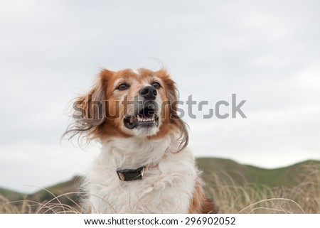 head and shoulders of red haired collie type dog with green pastoral farming hillside in background against a blank sky,East Coast, New Zealand