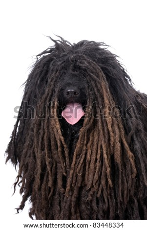 Head and shoulders portrait of a Purebred Puli on a 255 white background. - stock photo