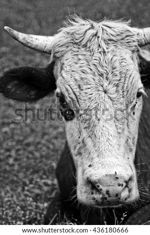 Head bull  in black and white. Vertical - stock photo