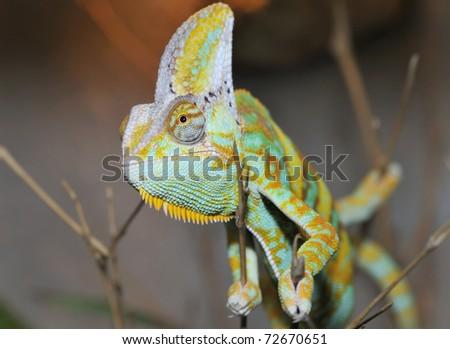 Head close-up of Yemen Chameleon - stock photo