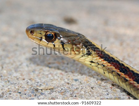 Head, face and pupil of a Red-sided Garder Snake, Thamnophis sirtalis parietalis - stock photo