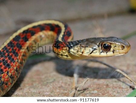 Head, face, and tongue of a Red-sided Garter Snake, Thamnophis sirtalis parietalis - stock photo