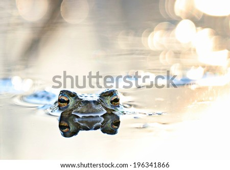 head frog in swamp close - stock photo
