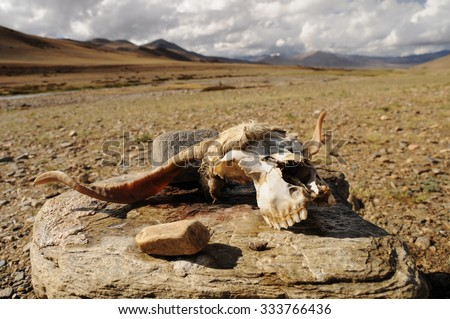 Head from dead animal, mountain desert, Ladakh, India - stock photo