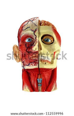 Head human anatomy - stock photo