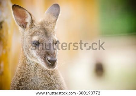 head kangaroo on loored background - stock photo