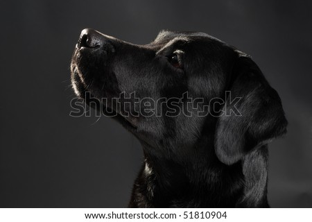 Head of a black labrador retriever dog looking aside