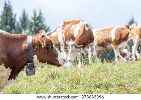 Head of a brown and white cow with a bell around the neck and the herd on the background - stock photo