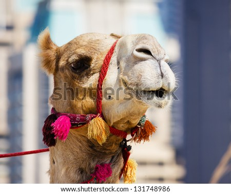 Head of a camel - stock photo