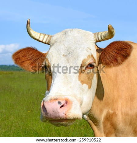 Head of a cow against a pasture.