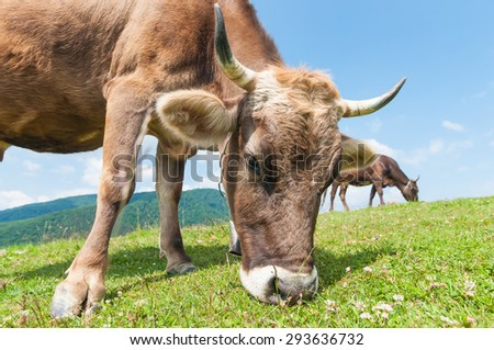 Head of a cow against a pasture. Funny cow on a green summer meadow. Blurred background - stock photo