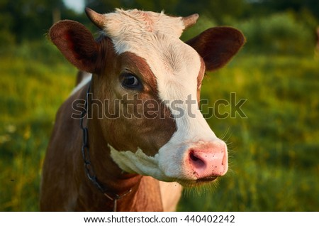 Head of a cow against a summer pasture. Close-Up Photography. - stock photo