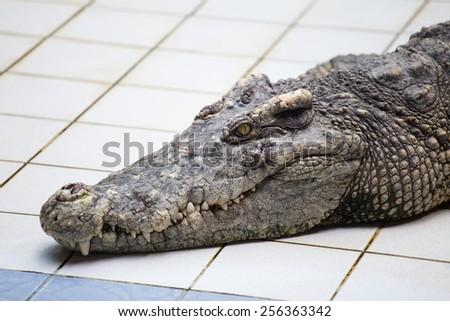 Head of a Crocodile - stock photo