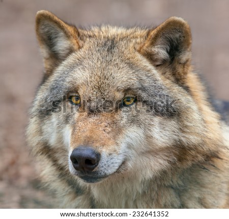 Head of a Eurasian Gray Wolf (Canis lupus lupus) is the most specialised member of the genus Canis, as demonstrated by its morphological adaptations to hunting large prey, and its expressive behavior. - stock photo