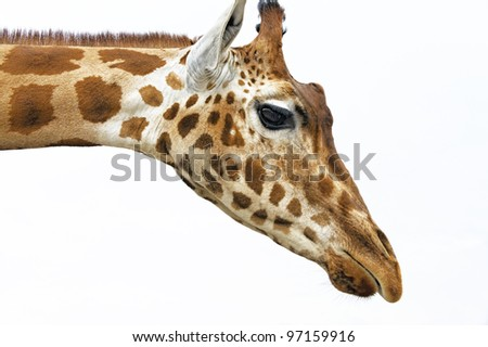 Head of a Giraffe in the wild against the sky