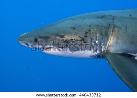 Head of a Great White Shark very close from the side in clear blue water.