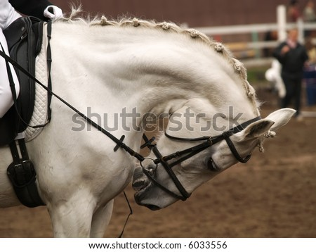 Head of a horse on in dressage. Braid mane for dressage. Braiding provides an aesthetically appealing look for a show horse. - stock photo