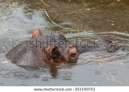 Head of a huge hippopotamus looking out of murky water - stock photo