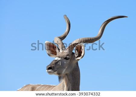 Head of a male greater kudu (Tragelaphus strepsiceros) viewed from a ground level hide in Onguma Game Reserve bordering Etosha National Park, Namibia