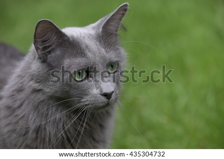 Head of a rare Nebelung cat with green eyes sitting in grass