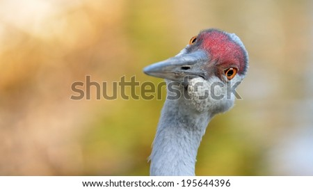 head of a Sandhill Crane, seeming to question - stock photo