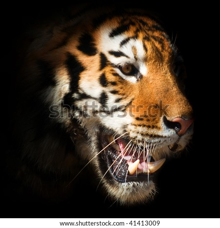 head of a tiger on a black background. symbol of the Chinese New Year - stock photo