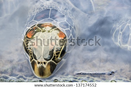 Head of a Turtle coming out from the Water Surface - stock photo