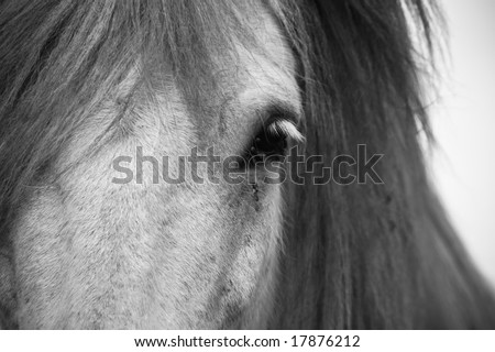 Head of a white icelandic horse - stock photo