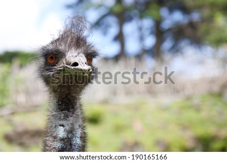 head of a wild emu bird against a landscape with blue sky and trees  - stock photo