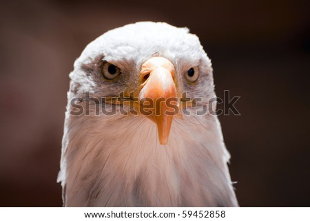 Head of American Eagle in Zoo. Closeup portrait.