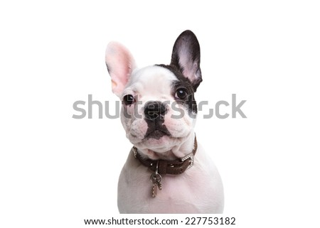 head of an adorable french puppy dog on white background - stock photo