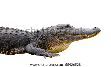 Head of an alligator isolated on white