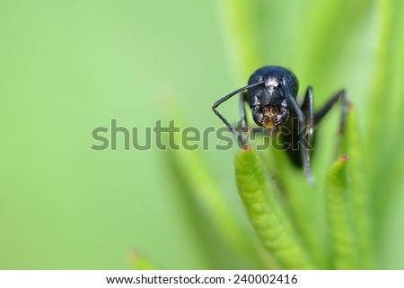 head of an ant, close-up, walking on foliage - stock photo