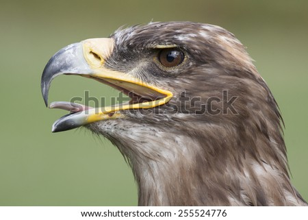 head of an brown european golden eagle with open beak - stock photo