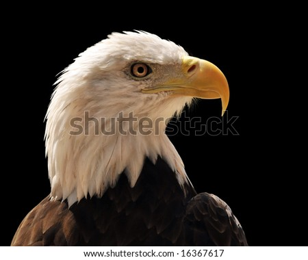Head of bald eagle isolated over a black background - stock photo